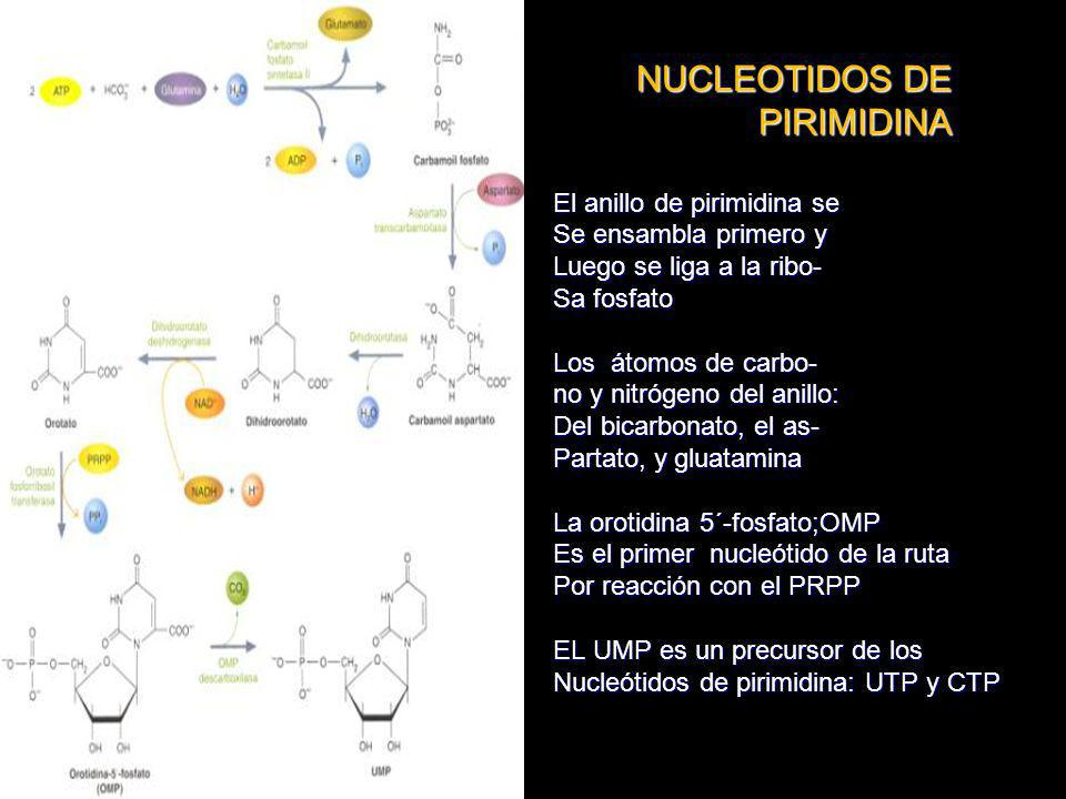 NUCLEOTIDOS DE PIRIMIDINA