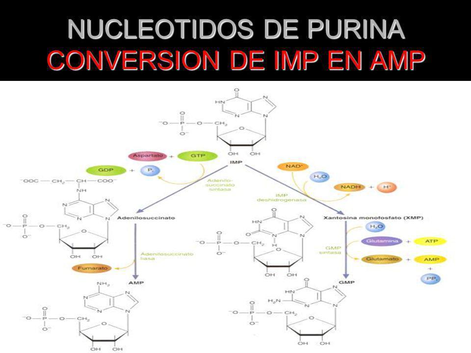 NUCLEOTIDOS DE PURINA CONVERSION DE IMP EN AMP