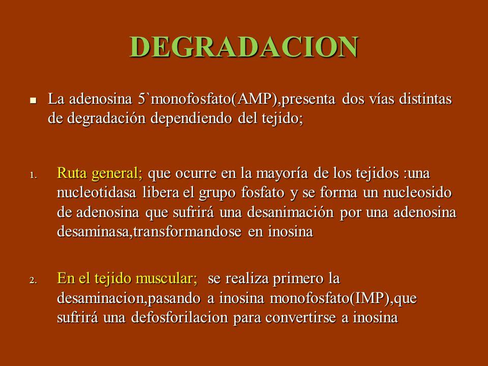 DEGRADACION La adenosina 5`monofosfato(AMP),presenta dos vías distintas de degradación dependiendo del tejido;