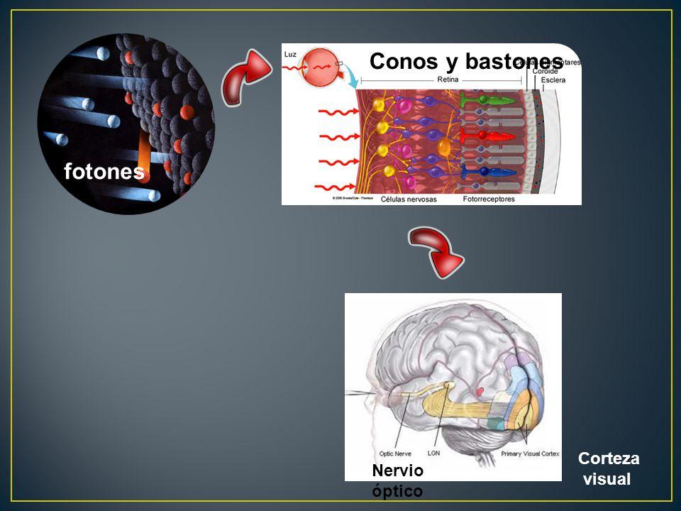 Conos y bastones fotones Corteza visual Nervio óptico
