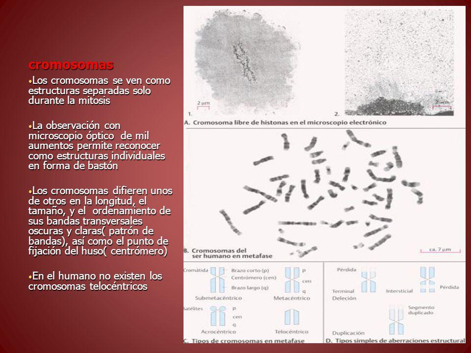 cromosomas Los cromosomas se ven como estructuras separadas solo durante la mitosis.