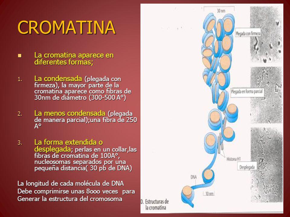 CROMATINA La cromatina aparece en diferentes formas;