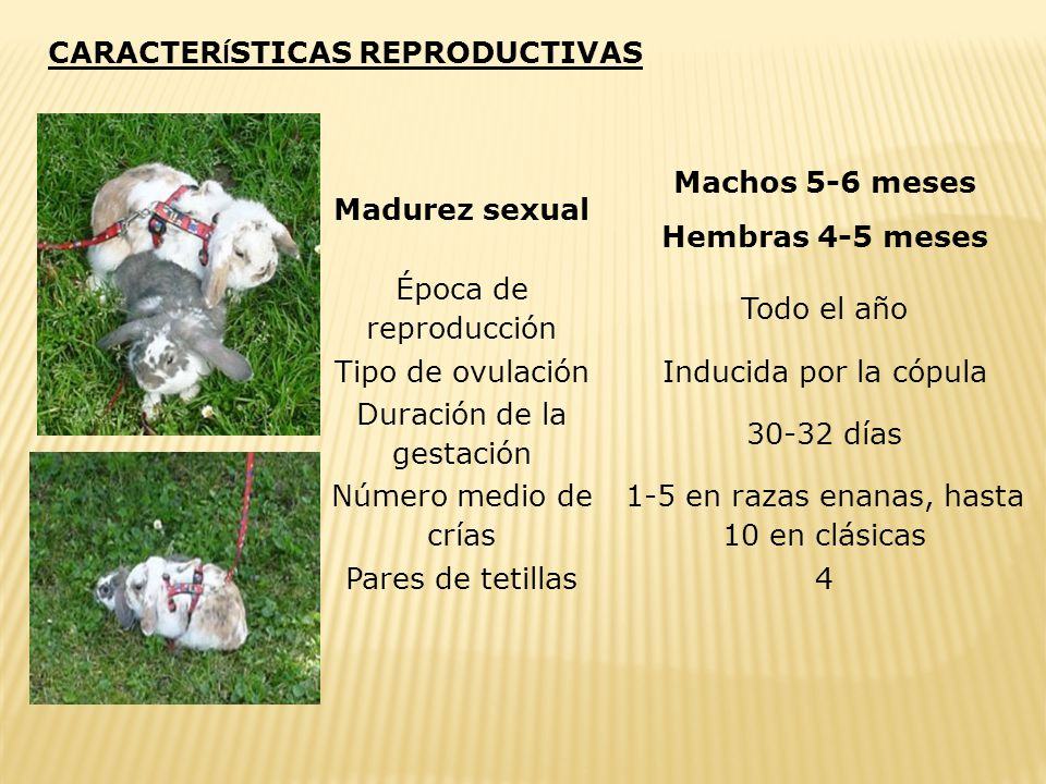 Madurez sexual Hembras 4-5 meses