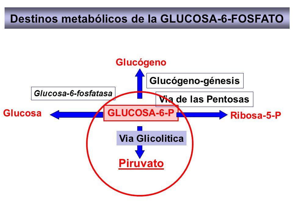 Destinos metabólicos de la GLUCOSA-6-FOSFATO