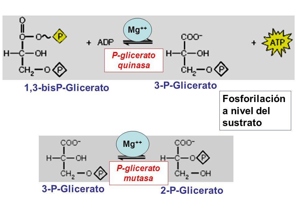 1,3-bisP-Glicerato 2-P-Glicerato