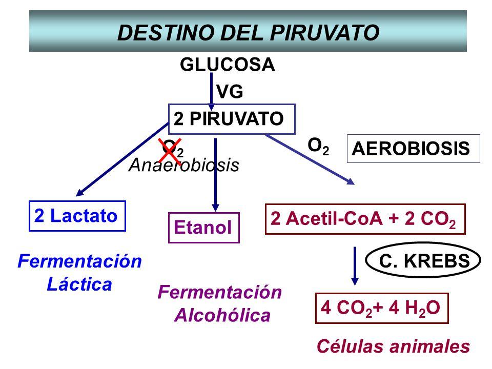 DESTINO DEL PIRUVATO GLUCOSA 2 PIRUVATO VG Anaerobiosis O2 O2