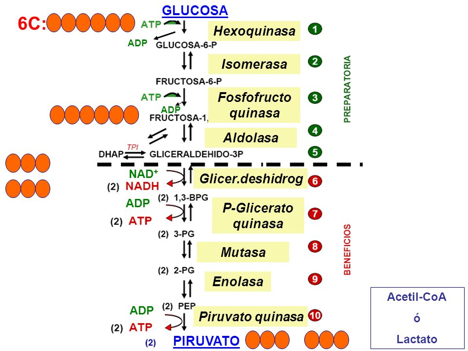 6C: GLUCOSA Hexoquinasa Isomerasa Fosfofructo quinasa Aldolasa