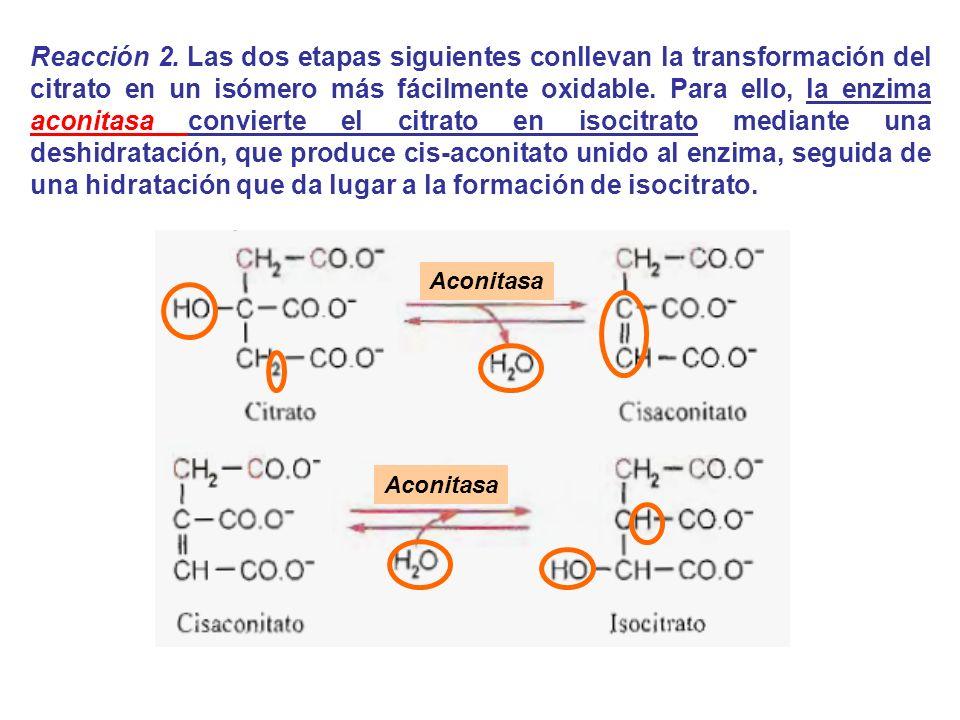 Reacción 2. Las dos etapas siguientes conllevan la transformación del citrato en un isómero más fácilmente oxidable. Para ello, la enzima aconitasa convierte el citrato en isocitrato mediante una deshidratación, que produce cis-aconitato unido al enzima, seguida de una hidratación que da lugar a la formación de isocitrato.