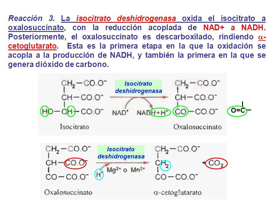 Reacción 3. La isocitrato deshidrogenasa oxida el isocitrato a oxalosuccinato, con la reducción acoplada de NAD+ a NADH. Posteriormente, el oxalosuccinato es descarboxilado, rindiendo a-cetoglutarato. Esta es la primera etapa en la que la oxidación se acopla a la producción de NADH, y también la primera en la que se genera dióxido de carbono.