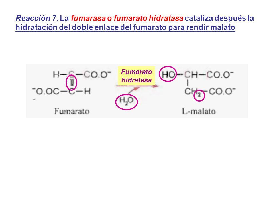 Reacción 7. La fumarasa o fumarato hidratasa cataliza después la hidratación del doble enlace del fumarato para rendir malato