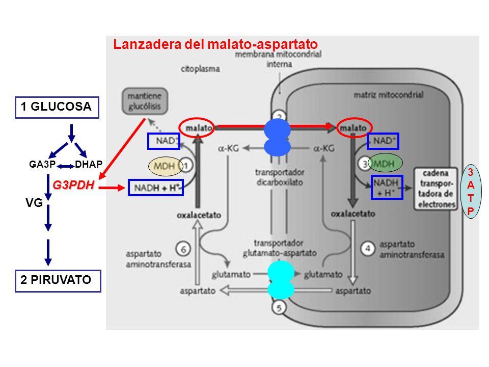 Lanzadera del malato-aspartato