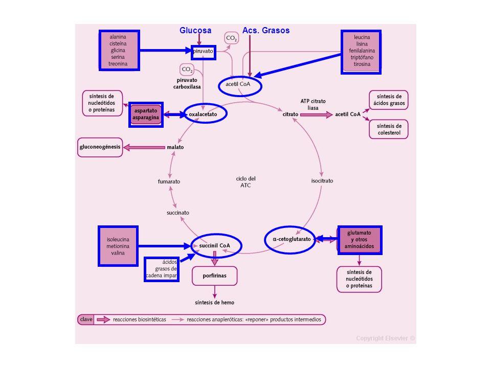 GlucosaAcs. Grasos. Es la vía de oxidación de la mayor parte de carbohidratos, ácidos grasos y aminoácidos.