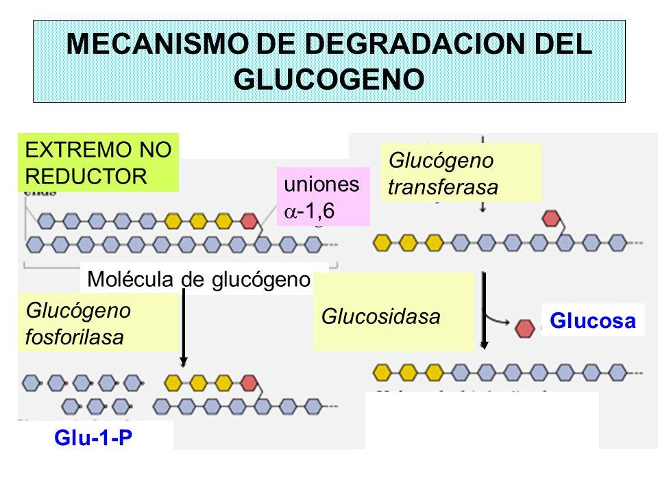 MECANISMO DE DEGRADACION DEL GLUCOGENO