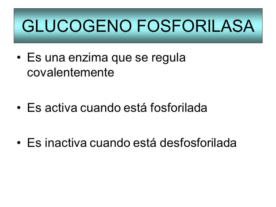 GLUCOGENO FOSFORILASA