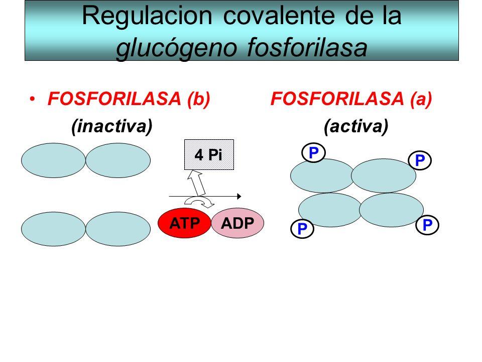 Regulacion covalente de la glucógeno fosforilasa