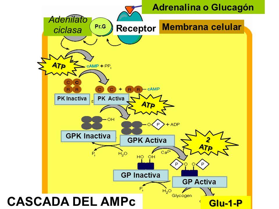 CASCADA DEL AMPc Adrenalina o Glucagón Adenilato ciclasa
