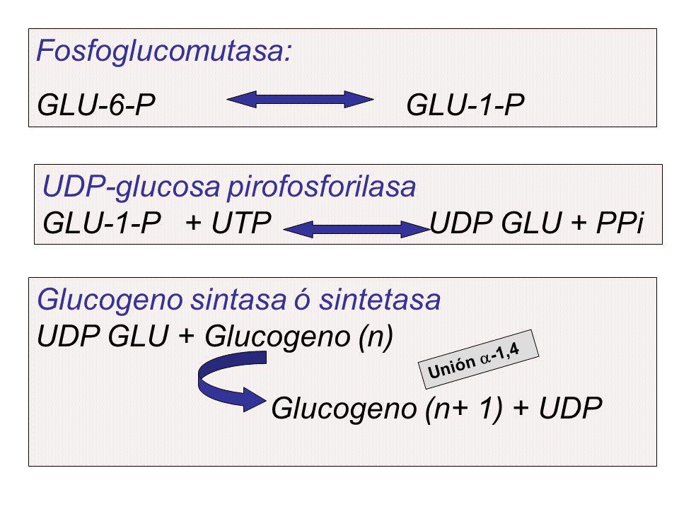 UDP-glucosa pirofosforilasa GLU-1-P + UTP UDP GLU + PPi