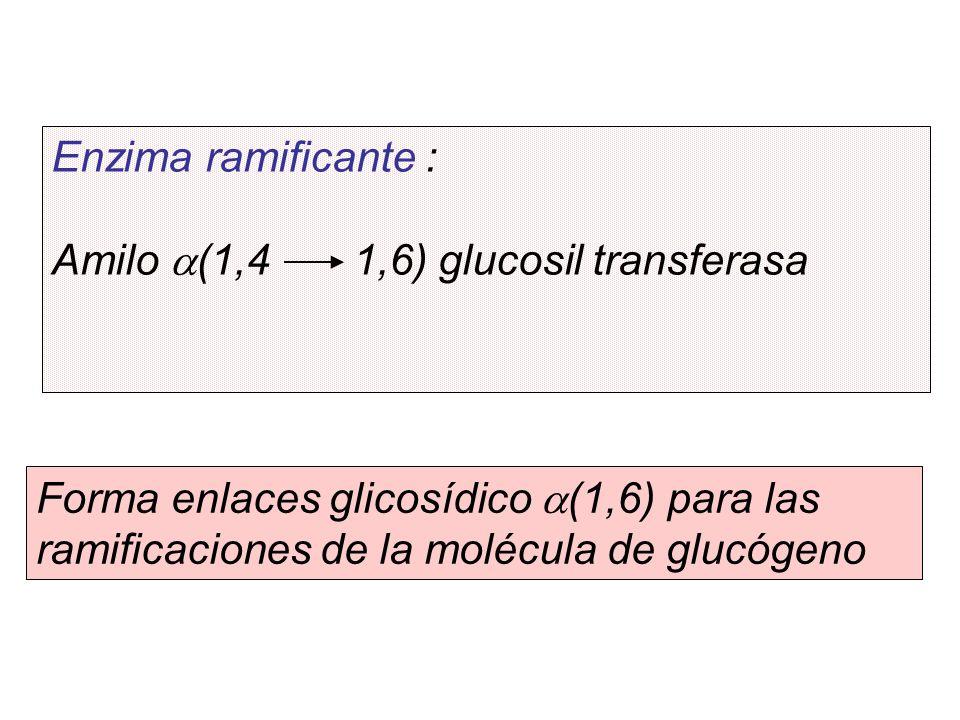 Enzima ramificante : Amilo a(1,4 1,6) glucosil transferasa.