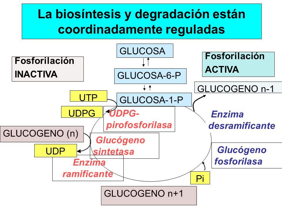La biosíntesis y degradación están coordinadamente reguladas