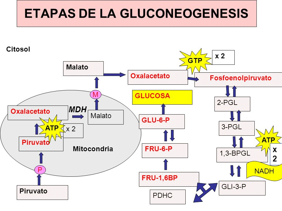 ETAPAS DE LA GLUCONEOGENESIS