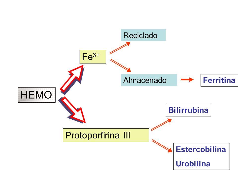 HEMO Fe3+ Protoporfirina III Reciclado Almacenado Ferritina