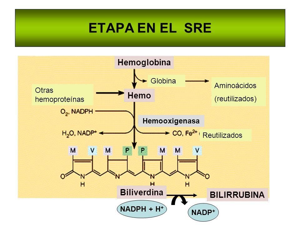 ETAPA EN EL SRE Hemoglobina Hemo Biliverdina BILIRRUBINA Globina