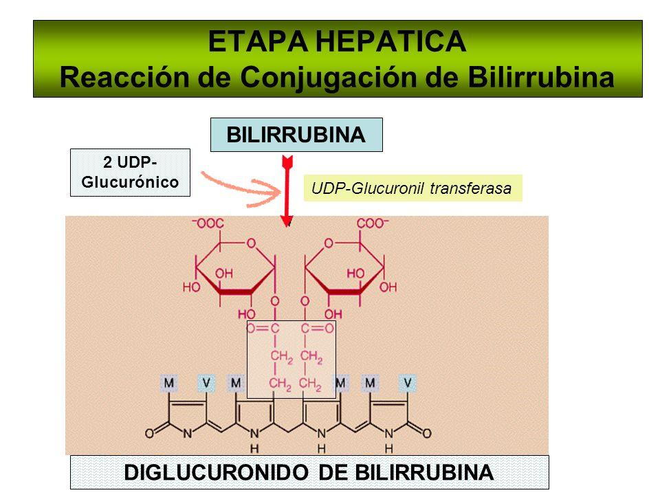 ETAPA HEPATICA Reacción de Conjugación de Bilirrubina