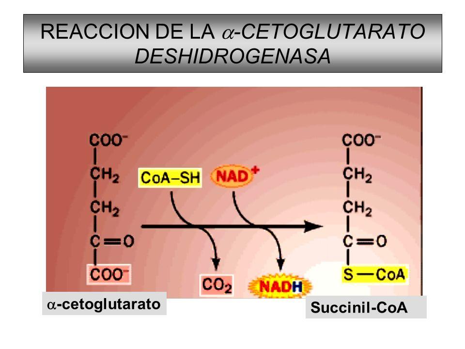 REACCION DE LA a-CETOGLUTARATO DESHIDROGENASA