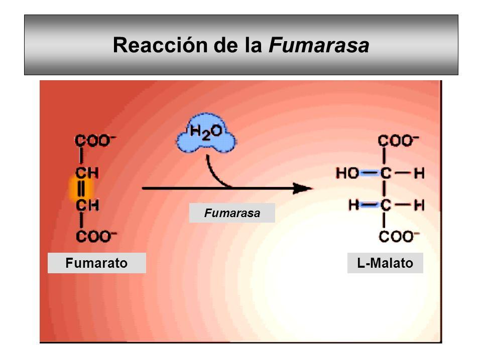 Reacción de la Fumarasa