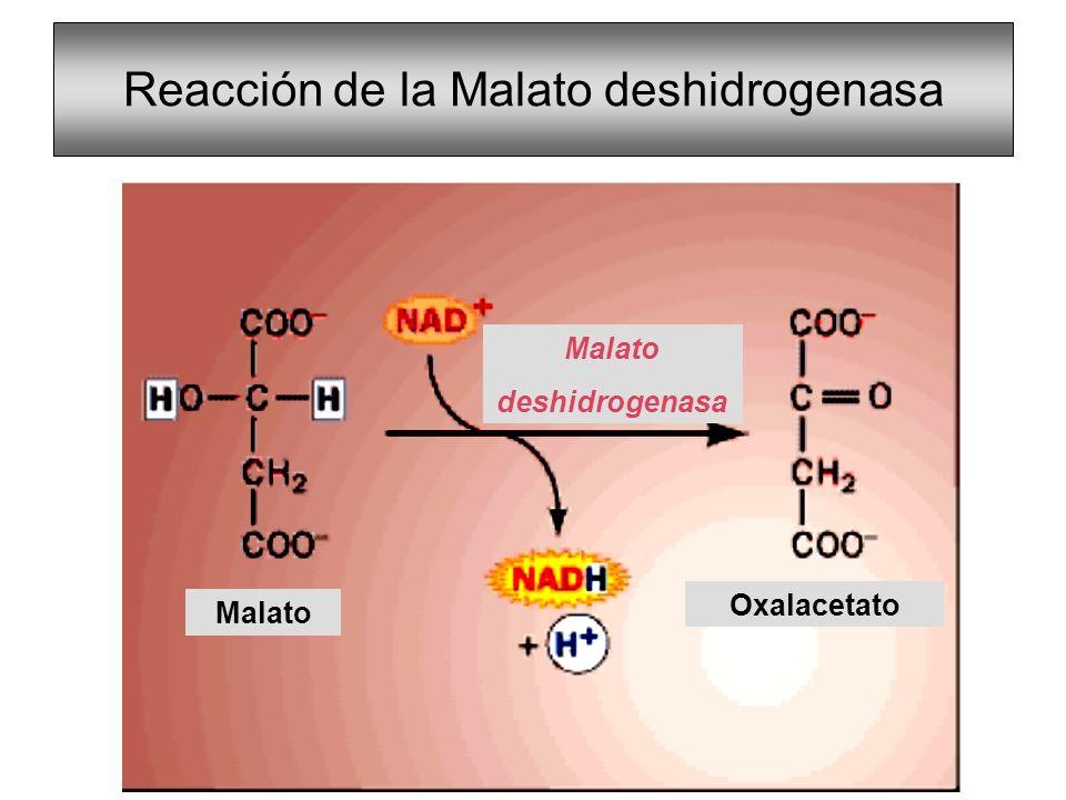 Reacción de la Malato deshidrogenasa
