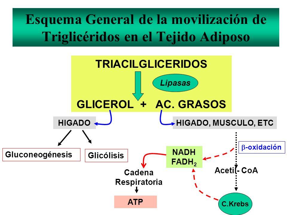 Esquema General de la movilización de Triglicéridos en el Tejido Adiposo