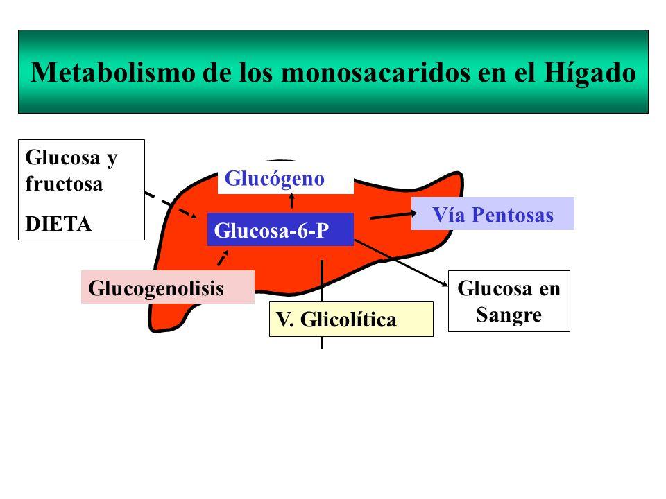 Metabolismo de los monosacaridos en el Hígado