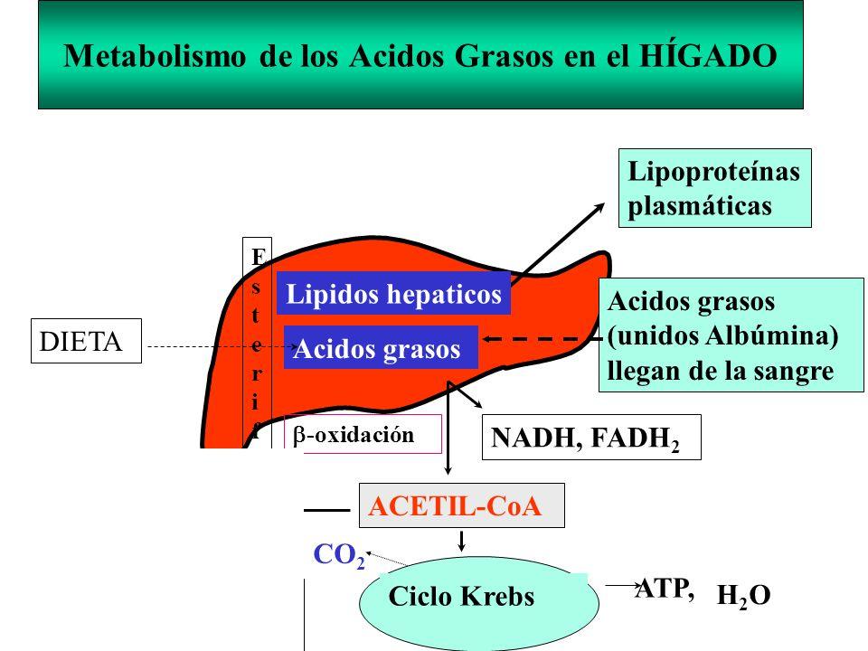 Metabolismo de los Acidos Grasos en el HÍGADO