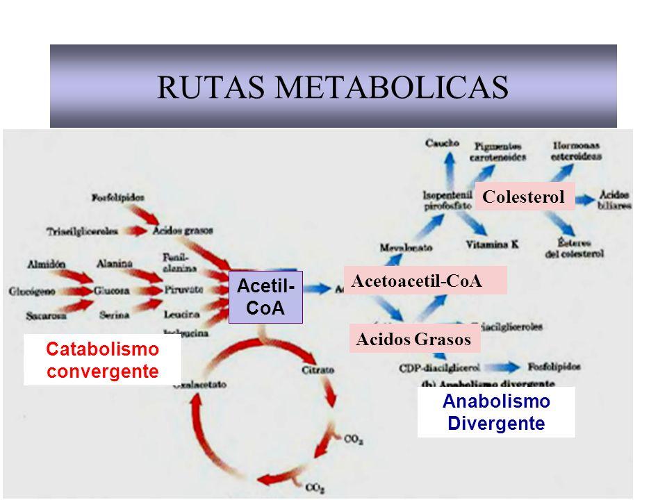 Catabolismo convergente Anabolismo Divergente