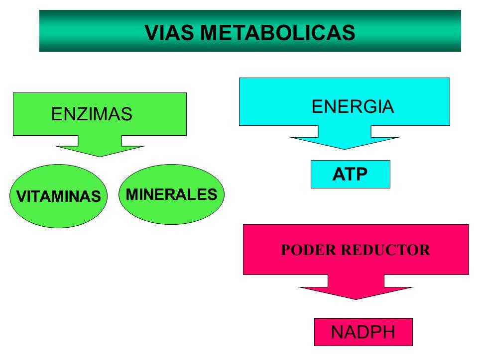VIAS METABOLICAS ENERGIA ENZIMAS ATP NADPH VITAMINAS MINERALES