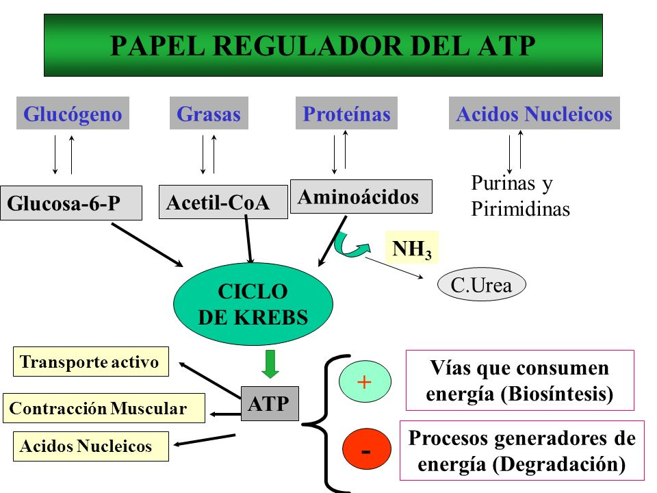 PAPEL REGULADOR DEL ATP