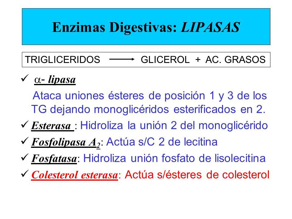 Enzimas Digestivas: LIPASAS