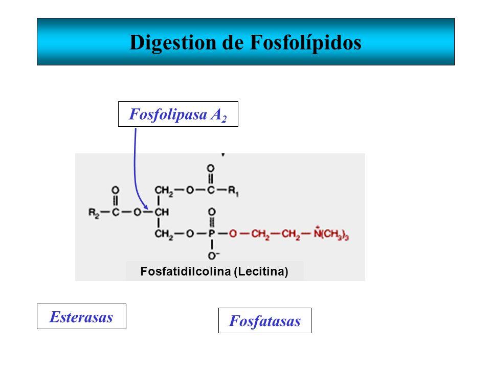 Digestion de Fosfolípidos