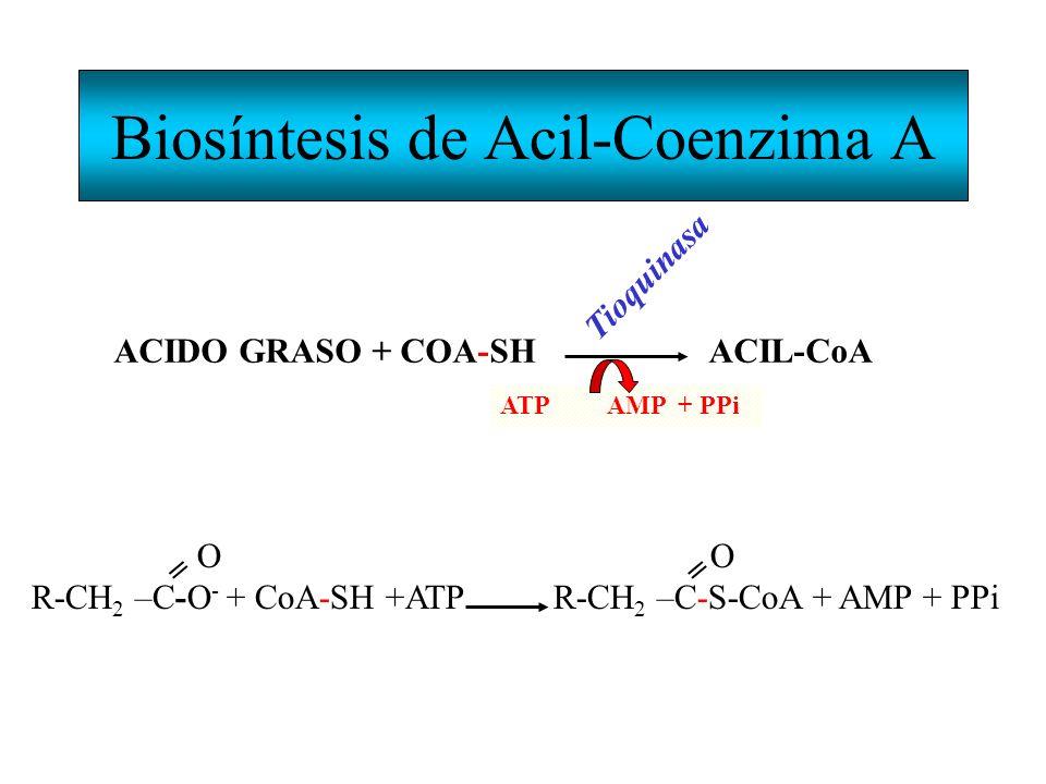 Biosíntesis de Acil-Coenzima A
