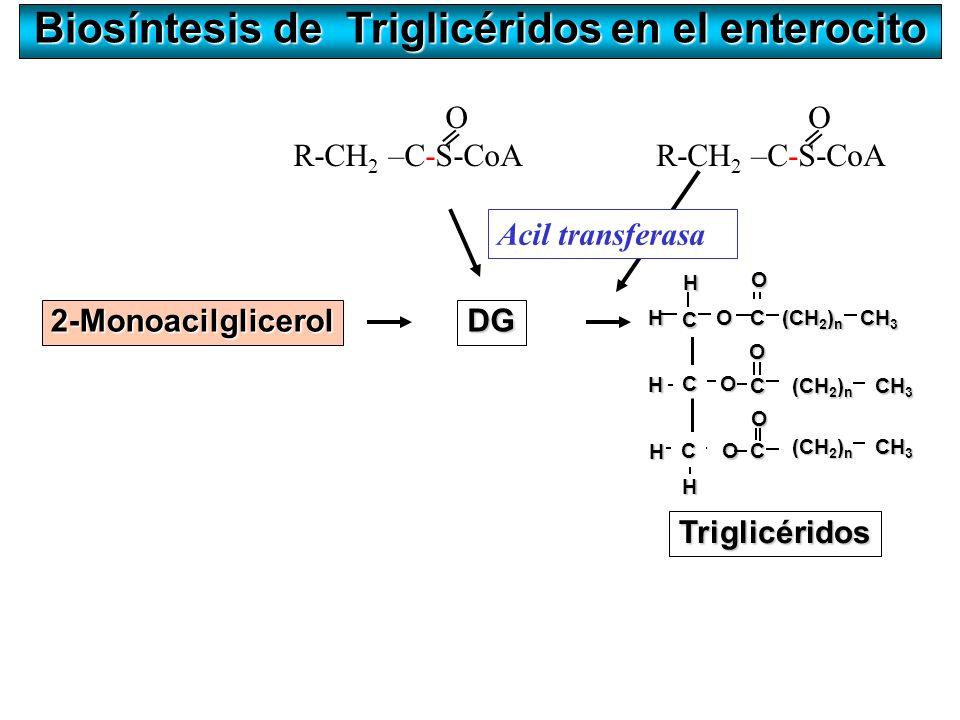 Biosíntesis de Triglicéridos en el enterocito