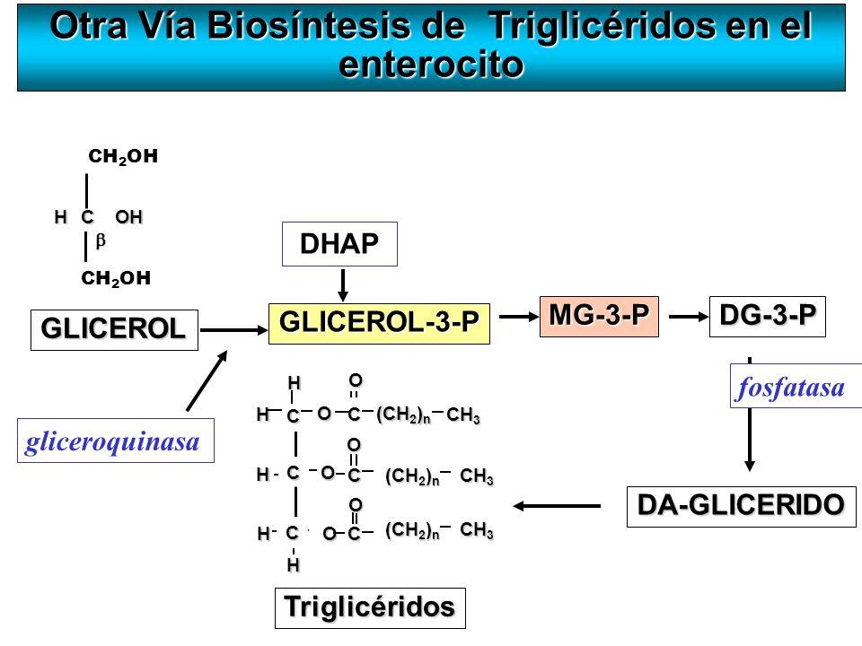 Otra Vía Biosíntesis de Triglicéridos en el enterocito