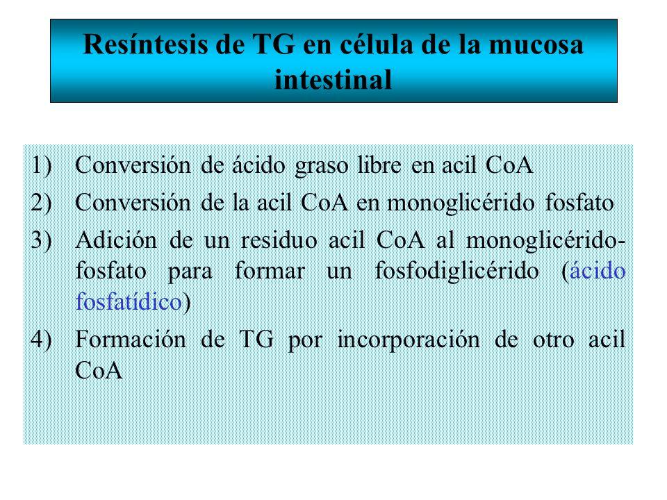 Resíntesis de TG en célula de la mucosa intestinal