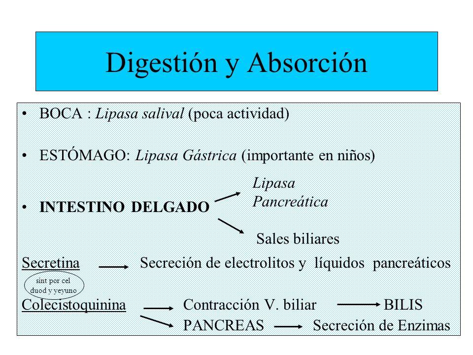 Digestión y Absorción BOCA : Lipasa salival (poca actividad)