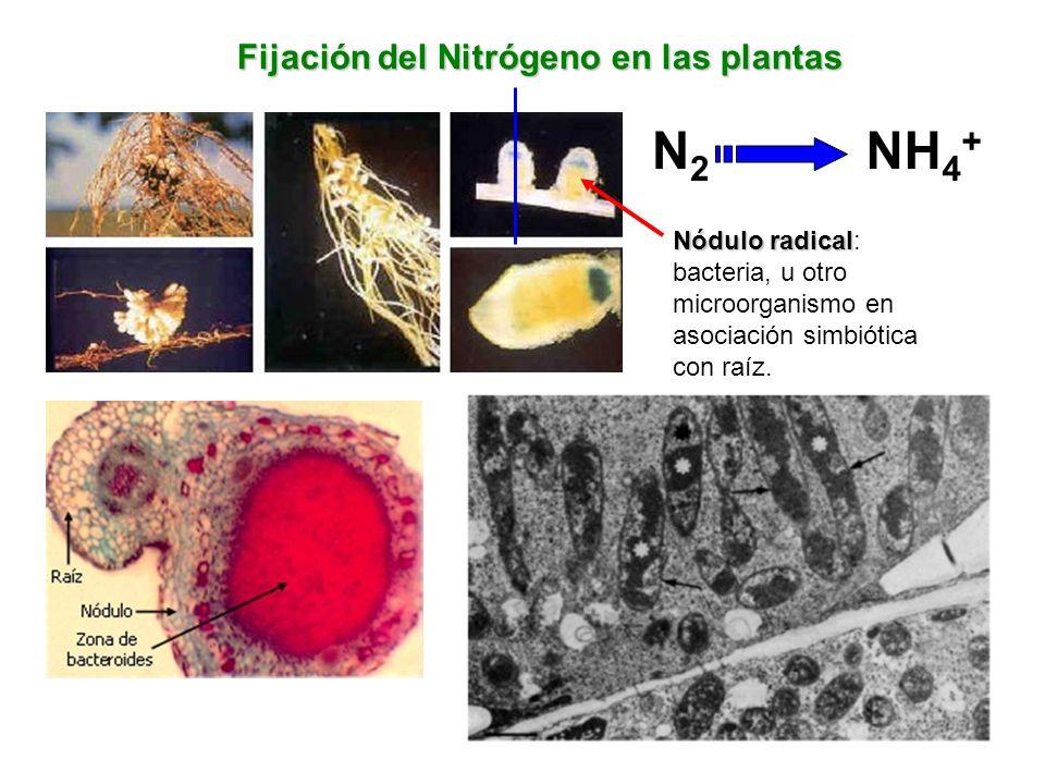 N2 NH4+ Fijación del Nitrógeno en las plantas