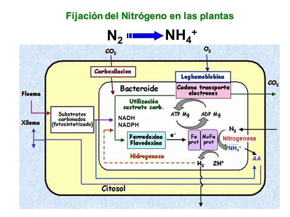 N2 NH4+ Fijación del Nitrógeno en las plantas NADH NADPH Nitrogenasa