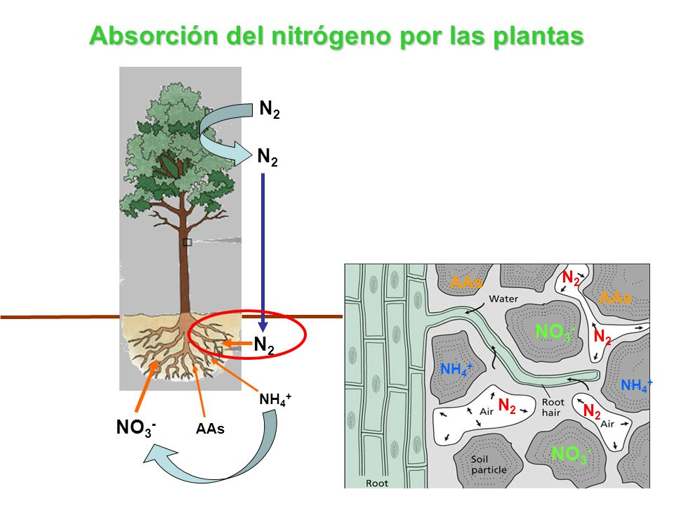 Absorción del nitrógeno por las plantas
