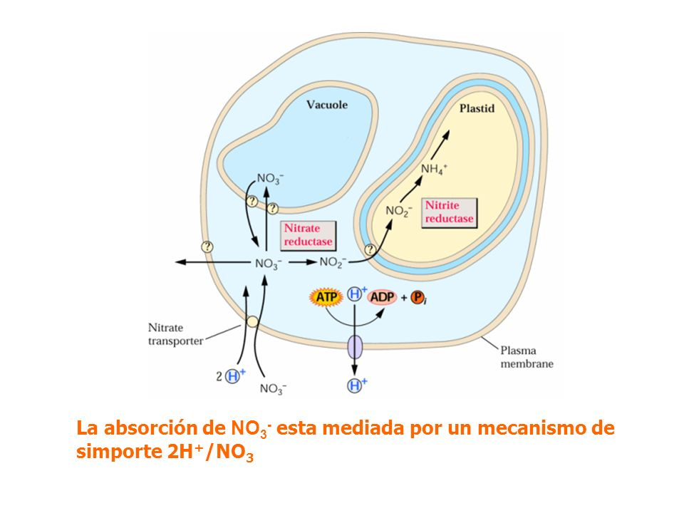 La absorción de NO3- esta mediada por un mecanismo de simporte 2H+/NO3