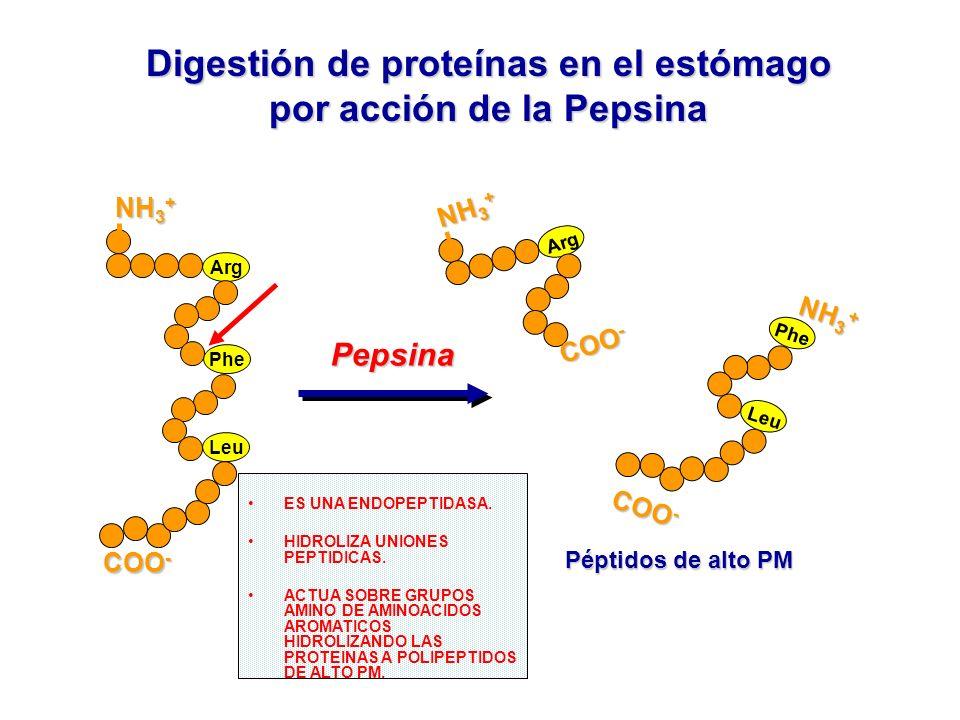 Digestión de proteínas en el estómago por acción de la Pepsina