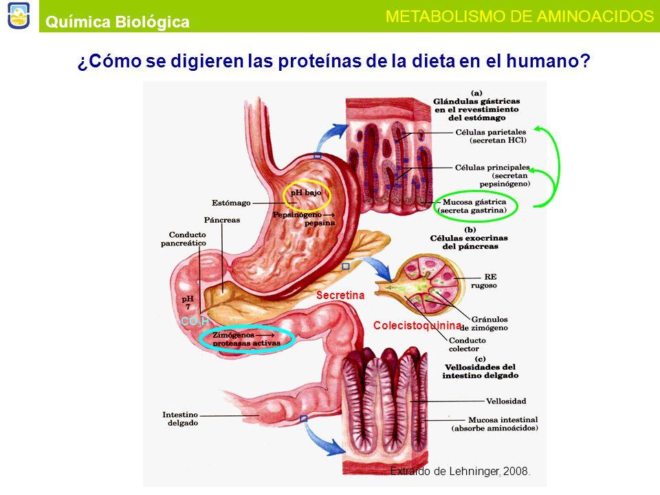 ¿Cómo se digieren las proteínas de la dieta en el humano