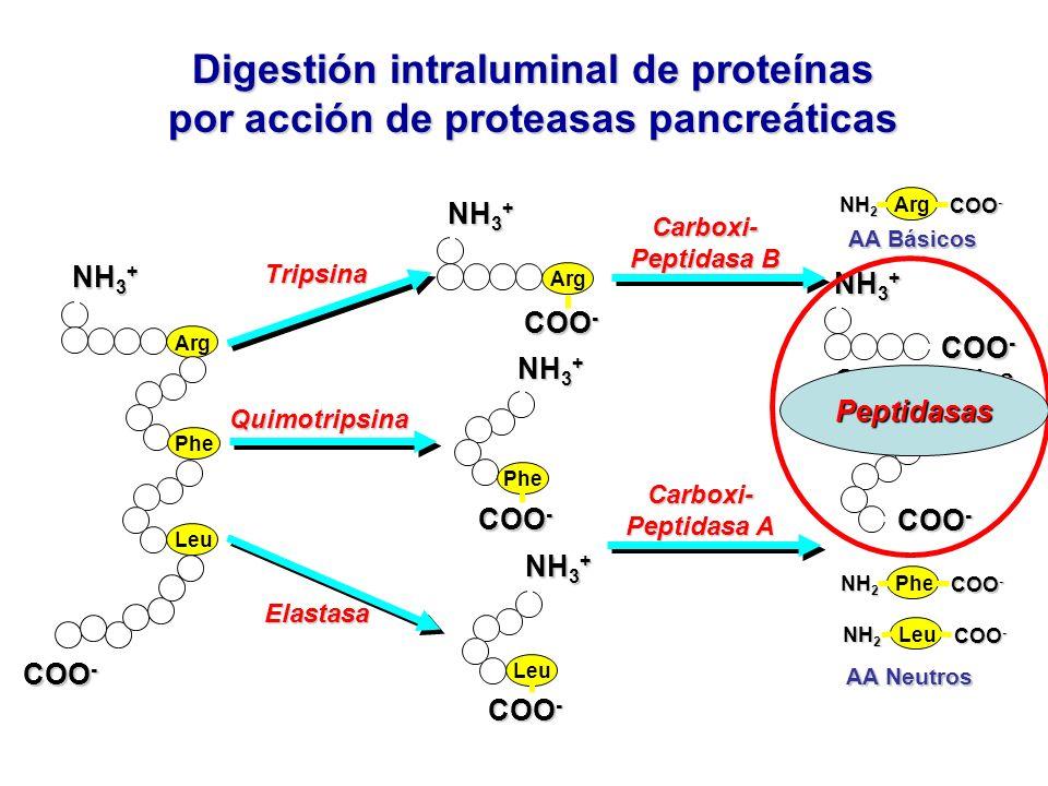 Digestión intraluminal de proteínas